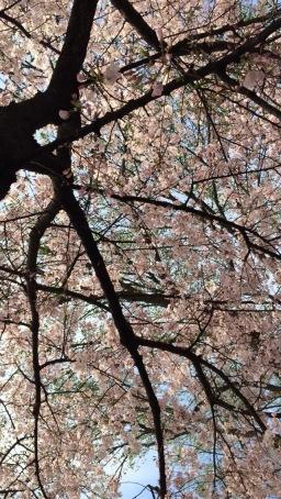 Cherry Blossom Festival. Washington, D.C. (2016).