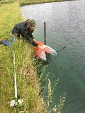 Stocking Fry into a pond with AquaShade